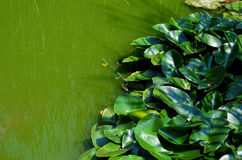 Green swamp water background 2. Very green swamp water with aquatic plants in sunny day Stock Images