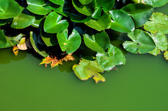 Green swamp water background 1. Very green swamp water with aquatic plants in sunny day Royalty Free Stock Photo