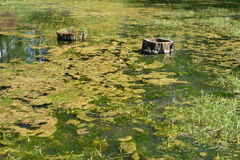 Green swamps Royalty Free Stock Images