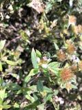 green sweat bee stock photo