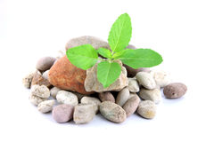 Green sweet basil leaves on mound. Stock Photo