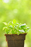 Green sweet basil plant Stock Image