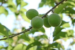 Green sweet peach fruits growing on a peach tree. Branch Stock Photography