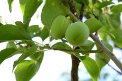 Green sweet peach fruits growing on a peach tree. Branch Royalty Free Stock Photography
