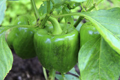 Green Sweet Pepper Growing On The Bed Stock Image