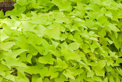 Green sweet potato vines Stock Images