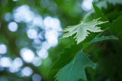 Green sycamore leaves Stock Image