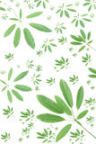 Green tabebia leaf background Royalty Free Stock Photography