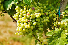 Green table grape clusters in vineyard Royalty Free Stock Photo