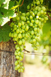 Green table grape clusters in vineyard Royalty Free Stock Image
