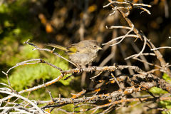 Green Tail Towhee. Stock Images