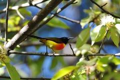 Green Tailed Sunbird Royalty Free Stock Image
