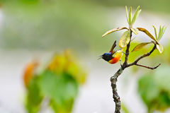 Green Tailed Sunbird Royalty Free Stock Image