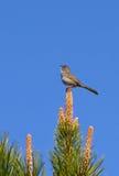 Green-Tailed Towhee Bird In Tree Stock Image
