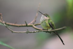 Green-tailed trainbearer Stock Photography
