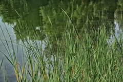 Tall grass pond. Green tall grass in front of pond with green tree reflections Stock Photography