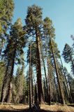 Green tall sequoia trees Stock Photography