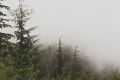Green Tall Tress on a Foggy Place Stock Photo