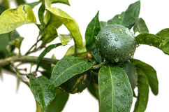 Green tangerine Stock Photography