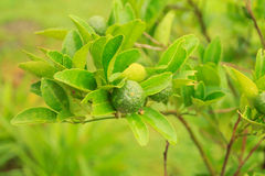 Green tangerine on branch Royalty Free Stock Images