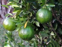 Green tangerine on the tree. Three green tangerine fruits on a small tree Royalty Free Stock Photography