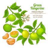 Green tangerine vector Royalty Free Stock Image