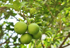Green tangerines growing on a tree branch Stock Image