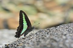 Green tape butterfly in water Stock Photography
