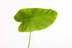 Green taro leaf Stock Image