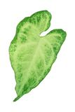Green Taro Leave Royalty Free Stock Image