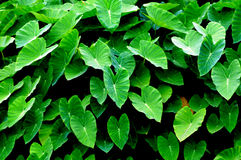 The green taro leaves. The cluster of taroes with big and verdure broad and peltate leaves Stock Photo
