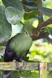 Green Tauraco persa bird Stock Image