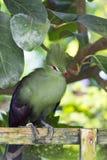 Green Tauraco persa bird Stock Image