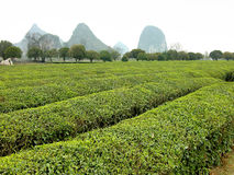 Green Tea. Tea plants with the rounded mountains around the Li river in China Royalty Free Stock Photos