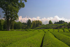 Green Tea. A green tea field with Mount Fuji in the background Royalty Free Stock Photos