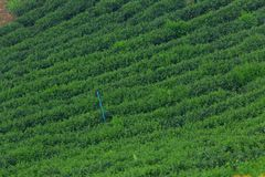 Green tea agriculture field row slope mountain hill royalty free stock images