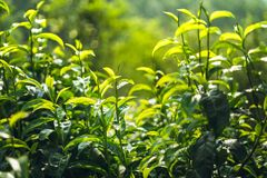Green tea Assam tea Fresh green leaves. Nature royalty free stock photography