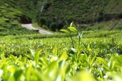 Green tea bud. And fresh leaves at tea plantations Stock Photography
