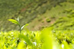 Green tea bud. Stock Images