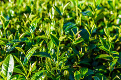 Green tea bud and fresh leaves on blurred background - tea plant Stock Photos
