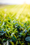Green tea bud and fresh leaves on blurred background - tea plant Royalty Free Stock Photos