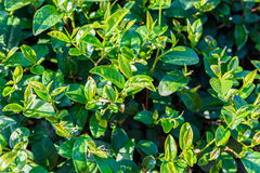 Green tea bud and fresh leaves on blurred background - tea plant Royalty Free Stock Photography