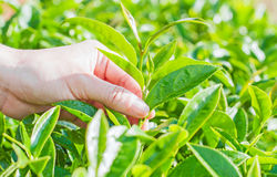 Green tea bud and fresh leaves Stock Image