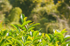 Green tea bud and fresh leaves Stock Images
