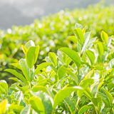 Green tea bud and fresh leaves Royalty Free Stock Photography
