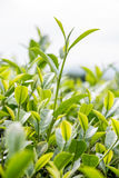 Green tea bud and fresh leaves Royalty Free Stock Image