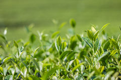 Green tea bud and fresh leaves Stock Photos