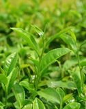 Green tea. Bud and fresh leaves. Tea plantations Stock Photography