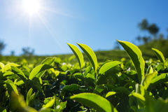 Green tea bud and fresh leaves. Royalty Free Stock Images