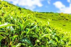 Green tea bud and fresh leaves. Tea plantations fields in Nuwara Eliya, Sri Lanka Stock Photos